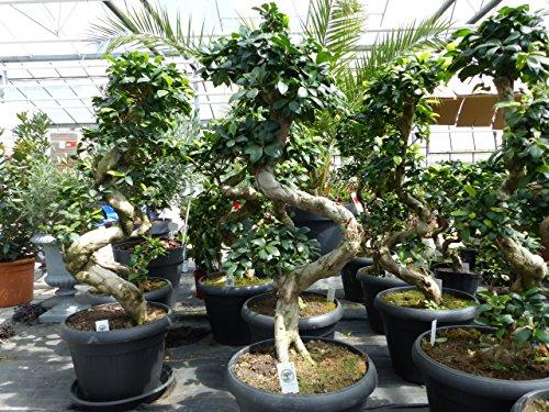 Bonsai Ficus Ginseng 90-120 cm im Dekotopf + Untersetzer, Zimmer-, Büropflanze, pflegeleicht