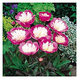 Bowl of Beauty Peony/Peonies - 3-5 Eyes - Heavy Potted - Perennial - Each 1 Gal by Growers Solution