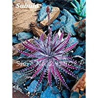 50 Semillas de flores Semillas Bonsai PC suculentas raras Semillas perenne de flores Agave Cactus Pot Semillas Balcón Plantas para jardín 7