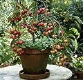 Zierapfel Ola® , 1 Pflanze von Amazon.de Pflanzenservice - Du und dein Garten