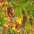 Bio Erste-Hilfe-Pflanze Bulbine Kräuterpflanze von LÀBiO! Kräuter - Du und dein Garten