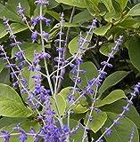 Blauraute Blue Spire - Perovskia atriplicifolia - Russischer Salbei - reichblühend - duftend