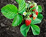 #5: Siam Garden Strawberry Live Plant
