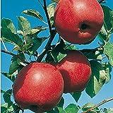 Apfel Reanda GEVO- Malus - Winterhart - Fruchtreife September bis Oktober - Liefergröße circa 120cm als wurzelnackte Pflanze