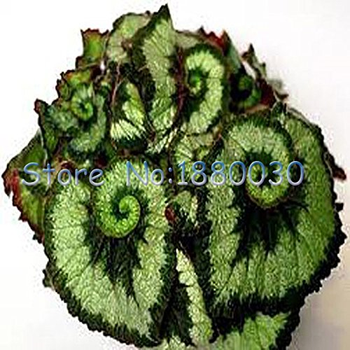 30pcs-bellas-verde-y-negro-espiral-de-color-mezclando-bonsai-begonia-follaje-paisaje-en-macetas-plan