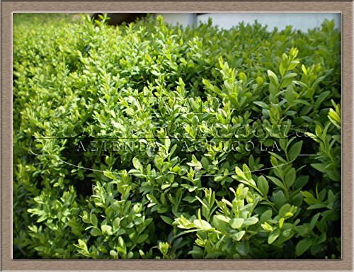 10 pezzi pianta piante di bosso buxsus arredo esterno giardini esterno in vaso 7 h 25 cm incluso vaso