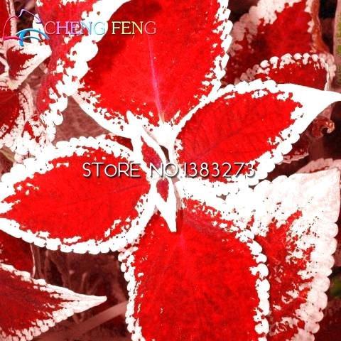 Shopmeeko 100 Stück Coleus Bonsai Bonsai Pflanzen perfekte Farbe Blatt für Haus & Garten Dekoration Mini Pflanzbaum Topf Gras Bonsai 2016 Semente: Mehrfarbig