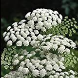 SeeKay Ammi Majus - Bishops Flower - 3 grams Appx 4000 seeds