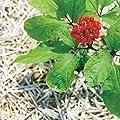 Echter Ginseng (Panax ginseng) 10 Samen ***TCM *** von Samenchilishop - Du und dein Garten