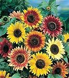 Sonnenblume Autumn Beauty - 30 Samen