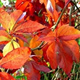 selbstklimmender Mauerwein 'Engelmannii' (Parthenocissus quinquefolia 'Engelmannii') - Rot und Winterhart - 1.5 Liter Topf   ClematisOnline Kletterpflanzen & Blumen