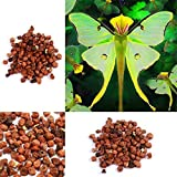 Ncient 100 Semi Sementi di Orchidea Phalaenopsis Rare Orchid Flower Seeds Semi di Fiori Rari Pianta Profumati per Orto Giardino Balcone Interni ed Esterni