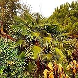 Future Exotics Trachycarpus Fortunei winterharte Hanfpalme - 60-65 cm