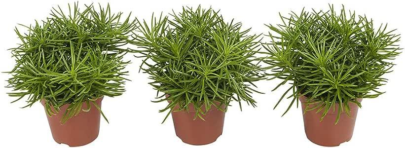 Senecio Himalaya | Sukkulente | 3 Pflanzen | Zimmerpflanze