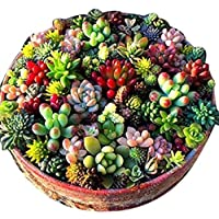 Earth Hopper 100+ SEEDS Mixed Mini Succulent Seeds AIR PURIFIER AND ANTI RADIATION PLANT Flower Cacti and Succulents…