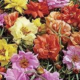 NEU! 50+ DOUBLE MOSS ROSE MIX/PORTULACA/ANNUAL Blumensamen/Bodendecker