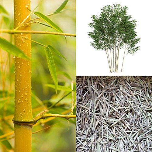 Bambus Mix Extrem Frosthart 19c Bis 25c 4 Arten Je 50