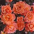 Kordes Rosen Strauchrose, Westerland, leuchtendes kupferorange, 12 x 12 x 40 cm, 120-31 von W. Kordes' Söhne auf Du und dein Garten