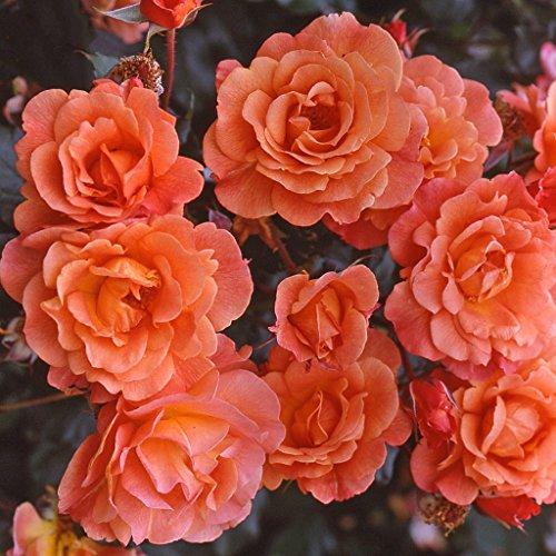 kordes-rosen-strauchrose-westerland-leuchtendes-kupferorange-12-x-12-x-40-cm-120-31