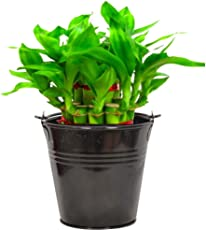 Trust Basket Metal Lucky Bamboo Planter with Bucket (Black)