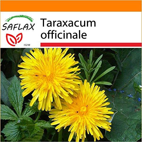 Galleria fotografica SAFLAX - Garden in the Bag - Dente di leone - 200 semi - Taraxacum officinale