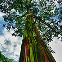 WuWxiuzhzhuo - 50 Semillas de eucalipto de Arcoíris Hawaii para Plantar Jardín, árbol de Decoración Fácil de Cultivar
