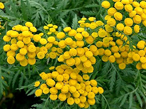 Rainfarn Blumen (Rainfarn - Tanacetum vulgare - Wurmkraut - 500 Samen)