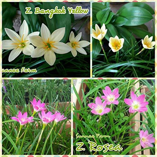 FARMERLY 15 Regen-Lilie Mischung, Zephyr 'ngkok Yellow' + 'Rosea', ing Grße by