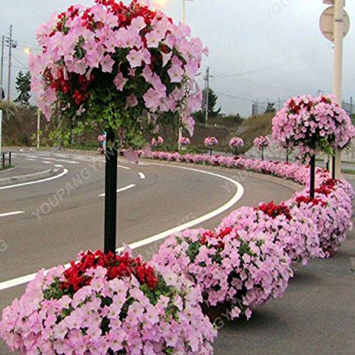 200 pcs / sac Petunia Graines Bonsaï Graines de fleurs Court Taille Jardin Fleurs Graines d'intérieur ou extérieur Plante en pot Livraison gratuite Vert