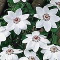 Clematis Miss Bateman Kletterpflanze (1,5 Liter Topf) - Weiß & Winterhart | ClematisOnline Kletterpflanzen & Blumen von ClematisOnline bei Du und dein Garten