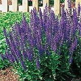 Garten-Salbei 'Ostfriesland' (Salvia nemorosa) - 1 Pflanze