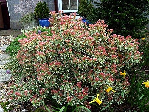 pieris-little-heath-compact-small-evergreen-shrub-9cm-pot