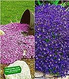 BALDUR-Garten Bodendecker Polsterstauden-Kollektion rosa & blau 3 Pflanzen Blaukissen Aubretia und 3 Pflanzen Phlox Polsterphlox Teppichphlox Moosphlox 3 Pflanzen Phlox subulata