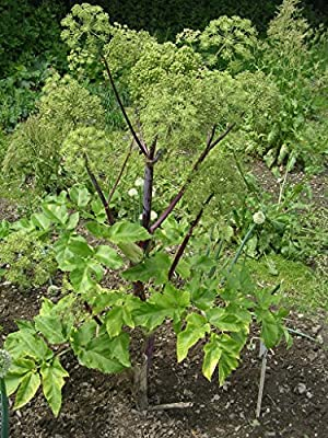 Kräuterey : Engelwurz - Angelica archangelica - Pflanze - Bioland von Kräuterey auf Du und dein Garten
