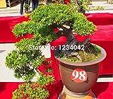 20 Giappone semi di acero rosso raro Bonsai semi professionali forniture di imballaggio casa del giardino di piante piantare annuo