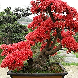 Semillas de Rododendro - Bonsai Color Rojo Pack de 10 granos