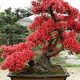 Semillas de Rododendro Semillas Bonsai Color Rojo Pack de 10 granos