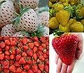 Erdbeeren-Sortiment XXL (Weisse+Gelbe+Rote+Riesenerdbeeren) 80++ Samen (Die Gartensensation) von Samenchilishop bei Du und dein Garten