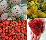 Erdbeeren-Sortiment XXL (Weisse+Gelbe+Rote+Riesenerdbeeren) 80++ Samen (Die Gartensensation)