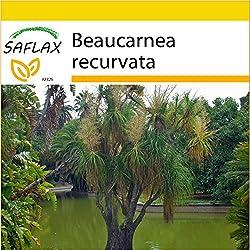 SAFLAX - Anzucht Set - Elefantenfuß/Flaschenbaum - 10 Samen - Beaucarnea recurvata