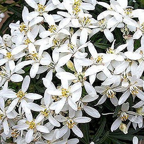 1-x-choisya-white-dazzler-mexican-orange-evergreen-hardy-shrub-plant-in-pot