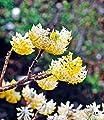 BALDUR-Garten Japanischer Papierbusch Edgeworthia chrysantha Papierblattpflanze, 1 Pflanze von Baldur-Garten - Du und dein Garten