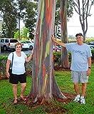 SwansGreen 200pcs/bag seltener Regenbogen Eucalyptus Deglupta, auffälliger tropischer Baum, Baumsamen für Garten Bepflanzung Baby und Liebhaber wie