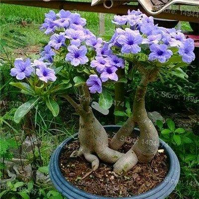 Desert Rose véritable Graines rares graines de fleurs Adenium obesum 4 pcs Fleur Bonsai Graines de purification d'air pour jardin 1