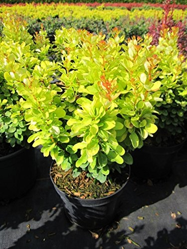 Berberis thunbergii Golden Rocket -R- – Gold-Berberitze Golden Rocket