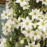 Clematis Early Sensation (Immergrün) Kletterpflanze - weiss - 1,5 Liter Topfen - ClematisOnline