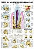 ruediger Anatomía ch60lam Teeth and mandibular Joint Pizarra, Inglés, 70cm x 100cm, laminado