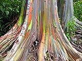 ★ ★ ★ 50+ Samen Regenbogen Eukalyptus ★ ★ ★ - Eucalyptus deglupta -