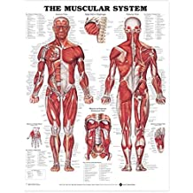 Muscular System Anatomical Chart (Laminated)