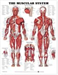 Muscular System Chart Laminated